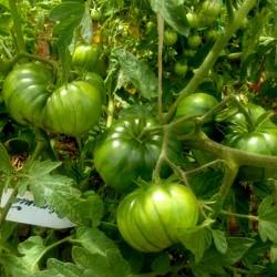 ARBUZNYI Большие зеленые семена томатов Seeds Gallery - 4