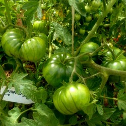 ARBUZNYI (watermelon) Big Green Tomato Seeds Seeds Gallery - 4
