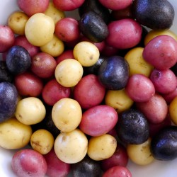 Salute Multi-colored True Potato Seeds  - 4