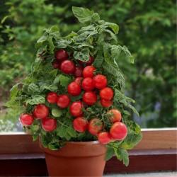 Vilma Zwerg Tomaten Samen  - 2