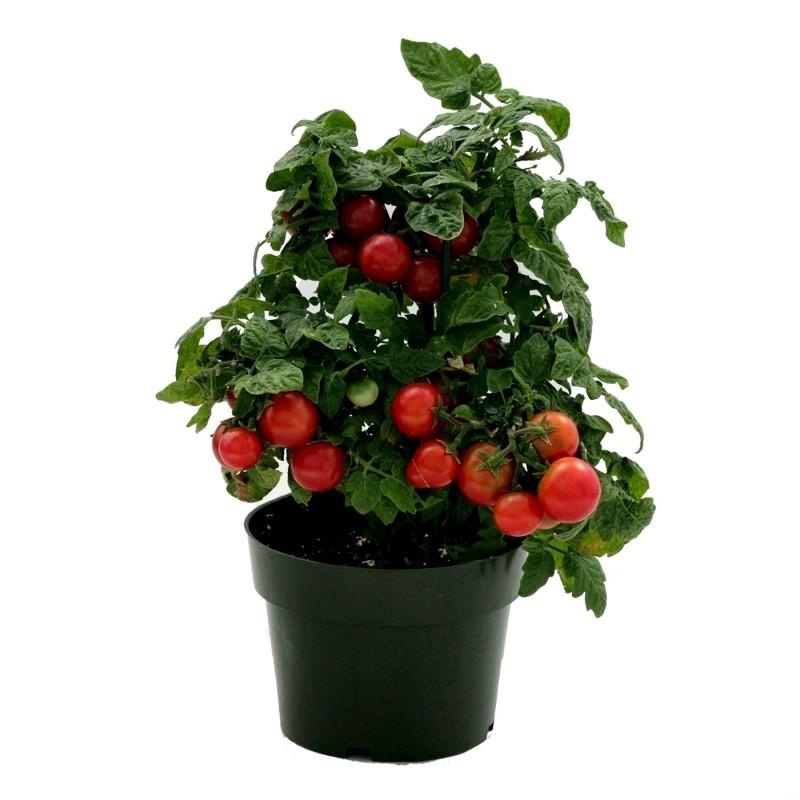Graines de tomate naine Vilma  - 3