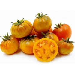Seme Paradajza Orange Purple Smudge  - 1