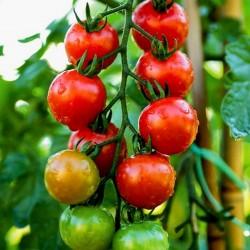Körsbärstomat fröer Chadwick Cherry  - 1