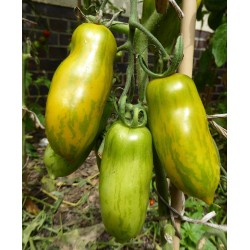 Sementes de tomate Salsicha Verde (Green Sausage)  - 5