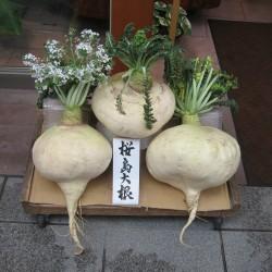 SAKURAJIMA DAIKON Giant Radish Seeds  - 5