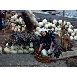 SAKURAJIMA DAIKON Giant Radish Seeds  - 6