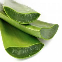 Graines de Aloe vera  - 2