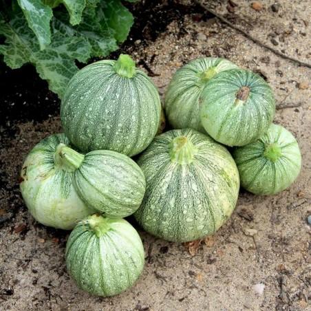 RONDE DE NICE Round Zucchini Seeds