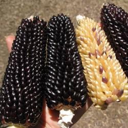 Grains de mais popcorn Noir DAKOTA Seeds Gallery - 2