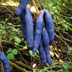 Blaugurke Blauschote Samen Decaisnea fargesii  - 3