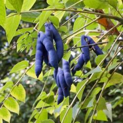Sementes De Banana Azul (Decaisnea Fargesii)  - 4