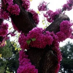 Sementes de Olaia ou Arvore-de-judas (Cercis siliquastrum) Seeds Gallery - 1