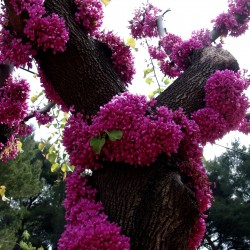 Semillas de Árbol del amor (Cercis siliquastrum) Seeds Gallery - 1