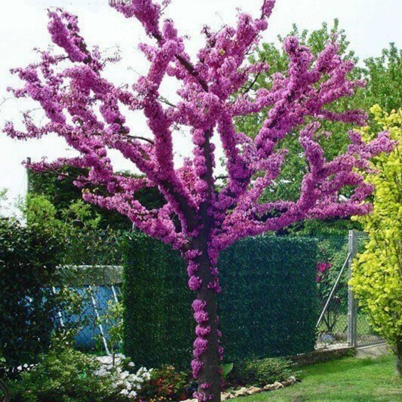 Judasbaum Samen (Cercis siliquastrum) Seeds Gallery - 4