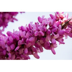 Judas tree Seeds (Cercis siliquastrum) Seeds Gallery - 3