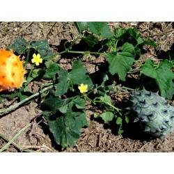 Boynuzlu kavun tohumlar (Cucumis metuliferus) Seeds Gallery - 2