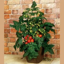 Balkonstar Tomaten Samen