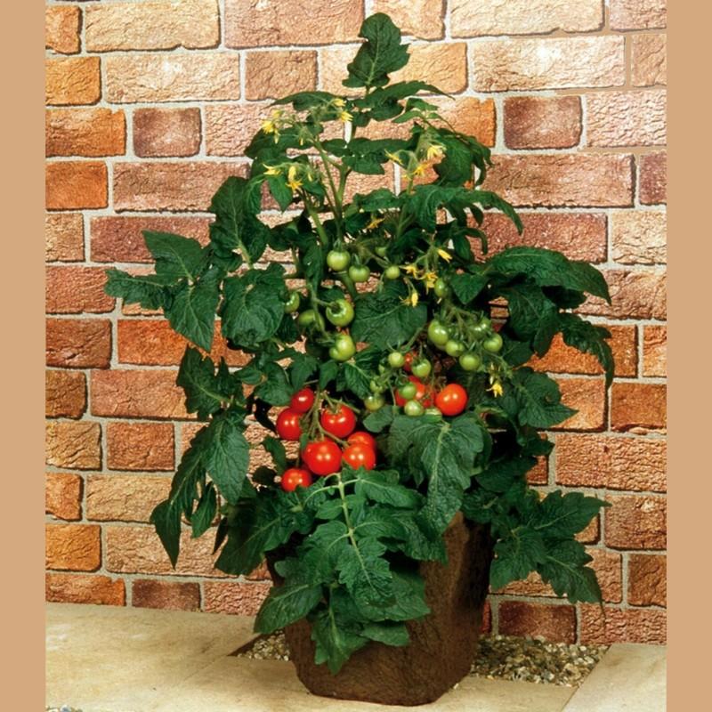 Balkonstar Tomaten Samen  - 2