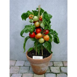 Balcon stjärna tomatfröer  - 1