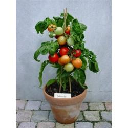 Σπόροι ντομάτας ΜΠΑΛΚΌΝΙ ΑΣΤΈΡΙ  - 1