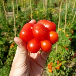 Sementes de tomate VOYAGE Seeds Gallery - 5
