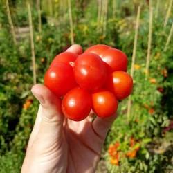 VOYAGE Tomato Seeds - Heirloom Variety Seeds Gallery - 5