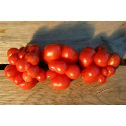 Semillas de tomate VOYAGE Seeds Gallery - 6