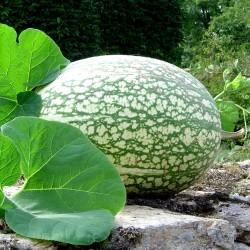 Chilacayote - Figleaf Gourd seeds (Cucurbita ficifolia)  - 3