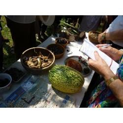 Chilacayote - Figleaf Gourd seeds (Cucurbita ficifolia)  - 4