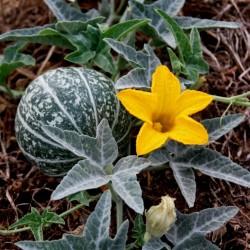Calabazilla - Buffalo Gourd Seeds (Cucurbita Foetidissima)  - 2