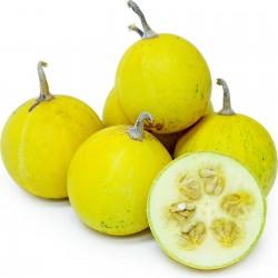 Calabazilla - Buffalo Gourd Seeds (Cucurbita Foetidissima)  - 6