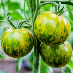 Tomato Green Zebra Seeds Seeds Gallery - 2
