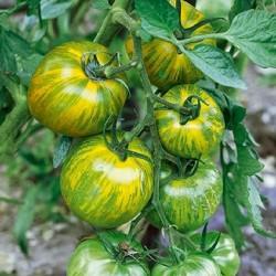 Graines de tomate Zèbre vert (Green Zebra) Seeds Gallery - 3
