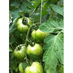 Graines de tomate Zèbre vert (Green Zebra) Seeds Gallery - 4