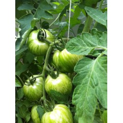 Tomato Green Zebra Seeds Seeds Gallery - 4