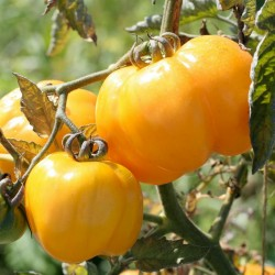 Yellow Stuffer (Tomatenpaprika) Tomaten Samen  - 3