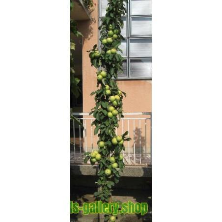 Granny Smith μήλο σπόρους (Malus sylvestris)