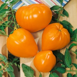 Tomato Seeds Oxheart Orange - Bull's Heart Seeds Gallery - 1