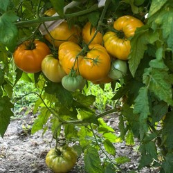 Tomato Seeds Oxheart Orange - Bull's Heart Seeds Gallery - 2