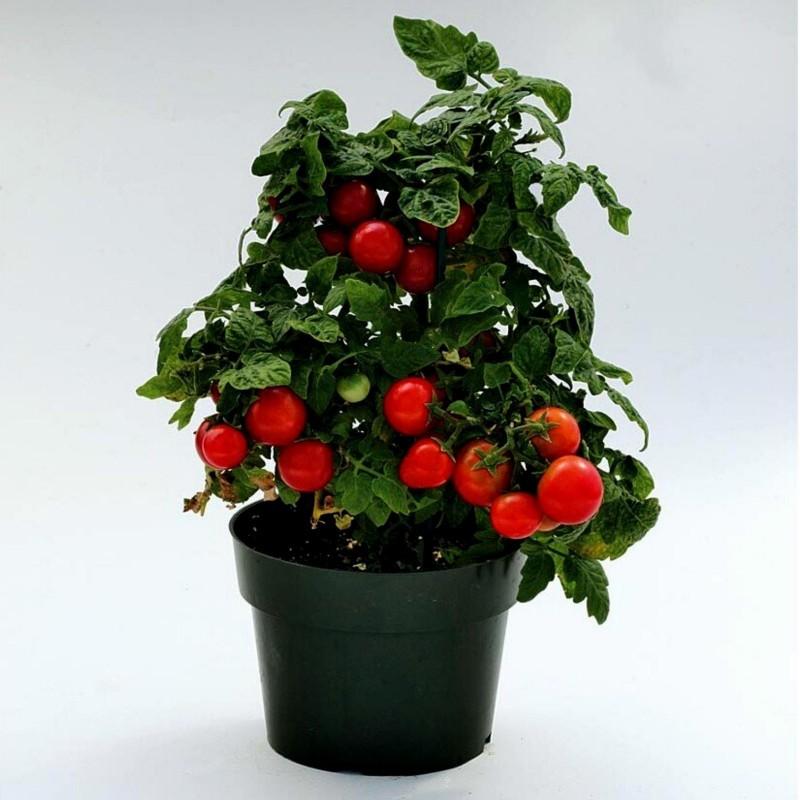 Balkonzauber Tomatensamen  - 3