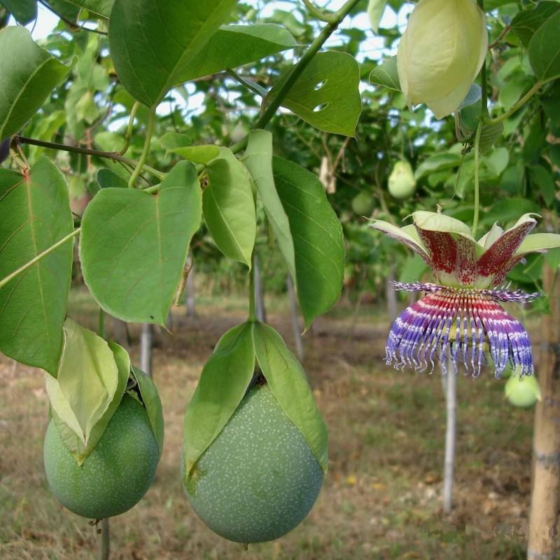 Hristov Venac Seme Passiflora maliformis  - 3