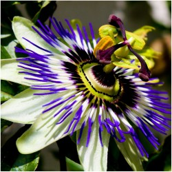 Blaue Passionsblume Samen (Passiflora caerulea)  - 1