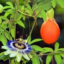 Graines Passiflore bleue (Passiflora caerulea)  - 2