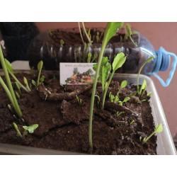 Meerrettich Samen (Armoracia rusticana) Seeds Gallery - 7