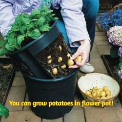 KENNEBEC λευκή πατάτα σπόρους  - 3