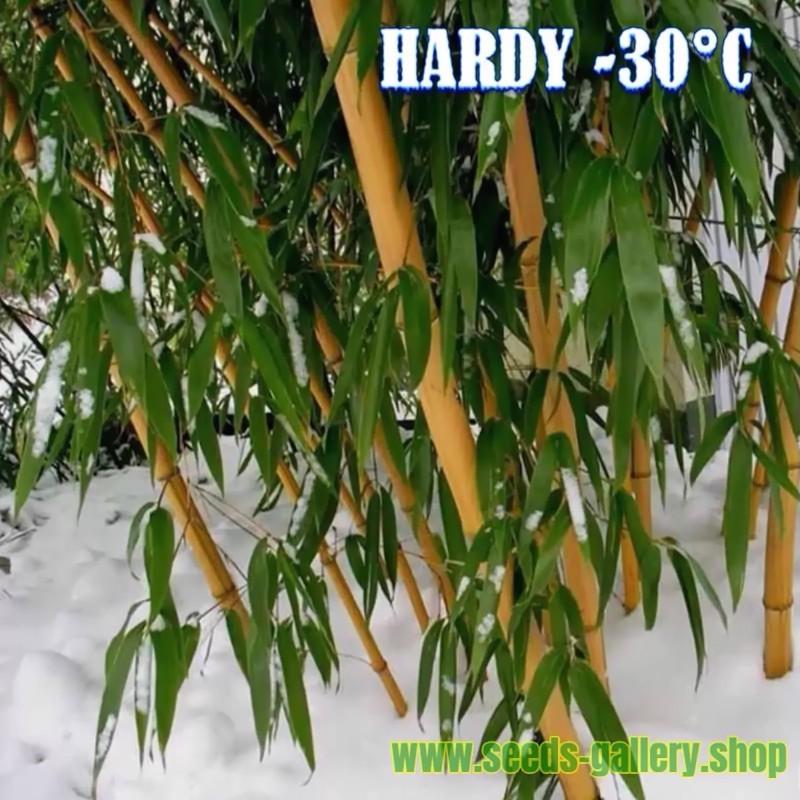 Madake Riesen Bambus Samen (Phyllostachys bambusoides)  - 3