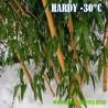 Листоколосник бамбуковый семена