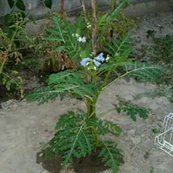 Litchi Paradajz Seme (Solanum sisymbriifolium) Seeds Gallery - 8