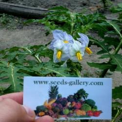 Litchi Tomato Seeds (Solanum sisymbriifolium) Seeds Gallery - 9