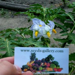 Sementes de Tomate Lichia (Solanum sisymbriifolium) Seeds Gallery - 9